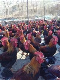 通辽回收成鸡大家都推荐宏伟禽业品质好种类全