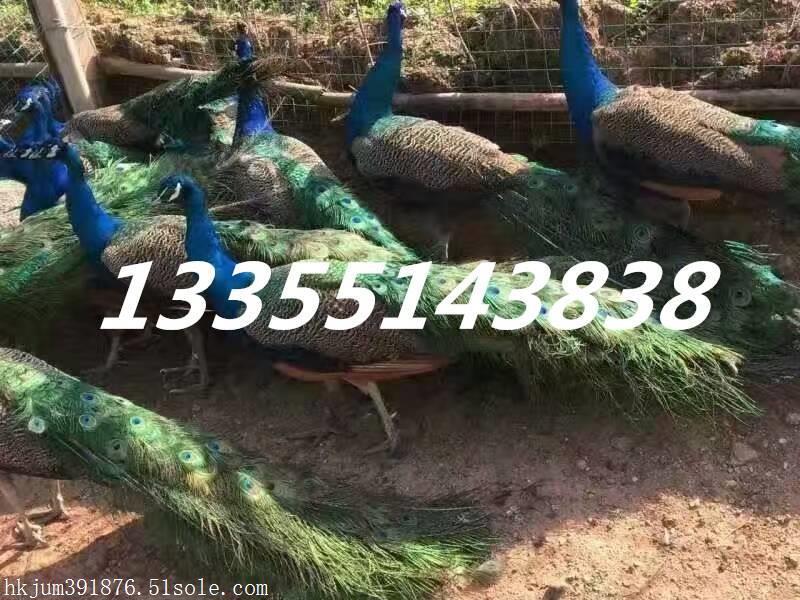 扶余县哪里有卖孔雀的