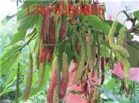 产量高致富新品种 超级长桑苗 供应及技术扶持