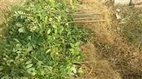 优质花椒苗基地