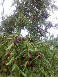 枣树苗基地 什么枣树苗品种好