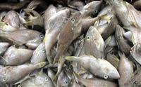 马面鱼批发北海一手货源