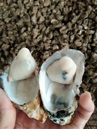 钦州生蚝批发 中国最好的生蚝产地 福州生蚝一斤多少钱一斤