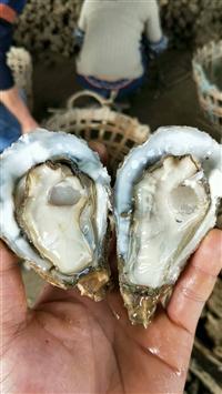 越南生蚝批发 烧烤生蚝多少钱一只 广西贺州八步优质生蚝批发采购