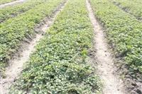 哪里有品种纯正的红玉草莓苗批发
