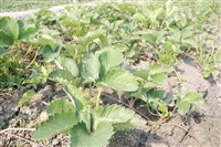优质草莓苗批发、产地直销、成都欣悦草莓