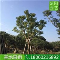 香樟移植苗,香樟常绿乔木,香樟庭荫树