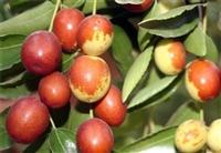 产地大量供应鲜金丝小枣鲜枣