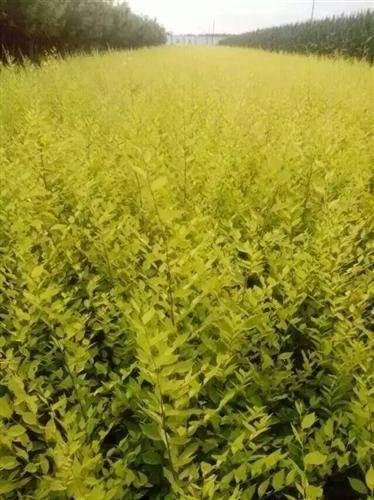 金叶榆繁殖培育技术 河北金叶榆种苗供应价格
