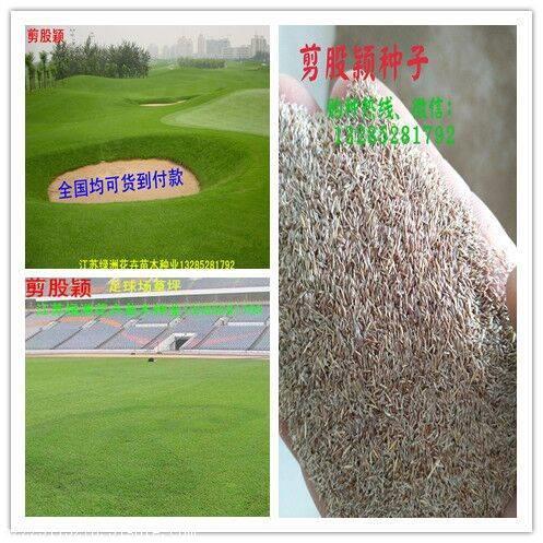 绿化草坪种子确保发芽率