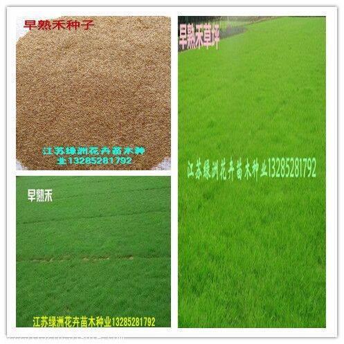护坡草坪种子价格优惠