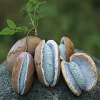 美味野果土香蕉 八月瓜苗 三叶木通 果树苗