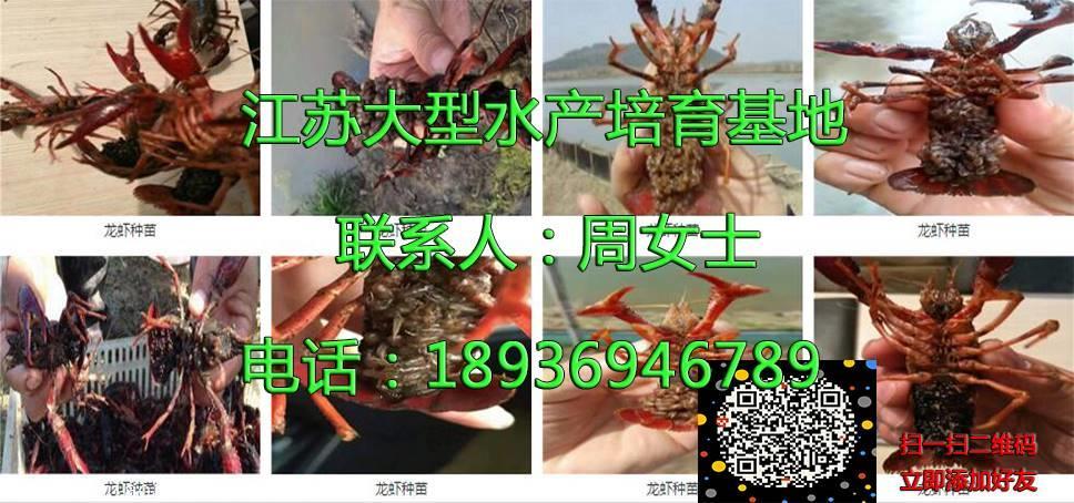 宝鸡小龙虾虾苗周围哪里有虾苗卖培育基地