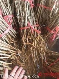 黑枸杞树苗报价|黑枸杞树苗种植基地|黑枸杞树苗