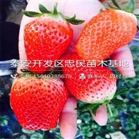 女峰草莓苗新品种女峰草莓苗一棵多少钱
