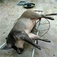 新款超声波捕野猪机器