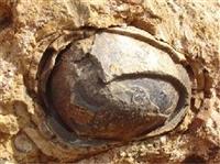 恐龙蛋化石有没有拍卖价值