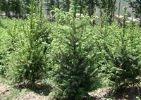 枸杞苗种植方法