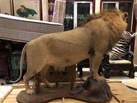 野生狮子标本进口流程资料