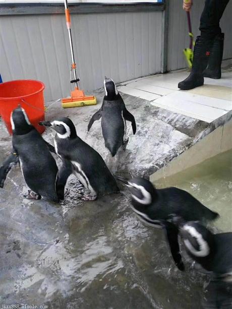 海狮、企鹅表演租赁 海洋生物展览展示企鹅海狮表演节目