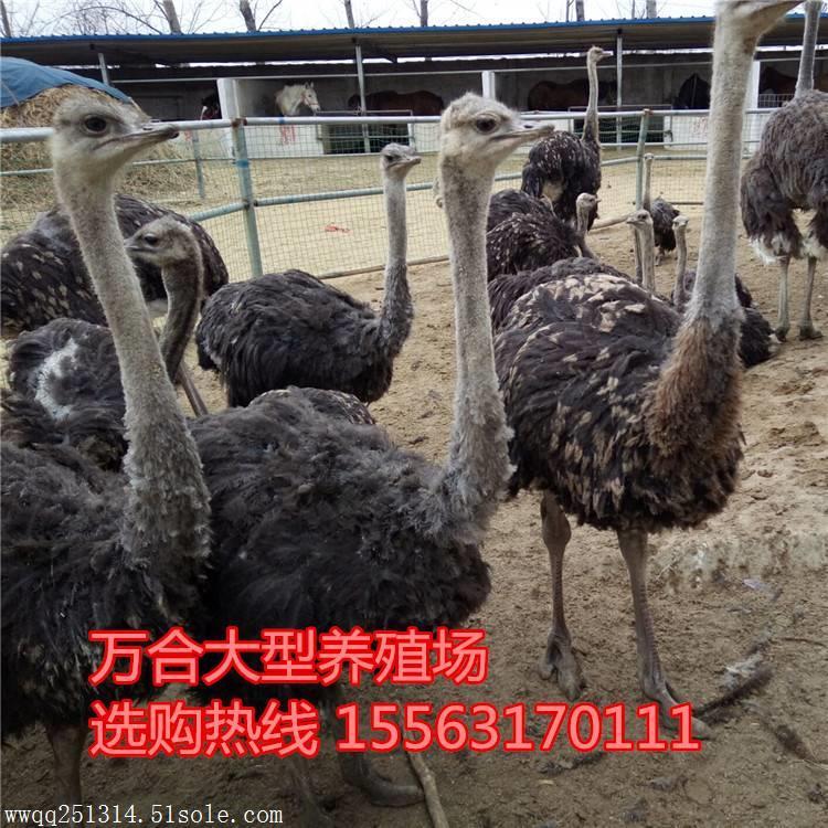 哪里有鸵鸟养殖场 一只小鸵鸟多少钱 种鸵鸟价格