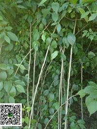供应杜仲苗种苗移栽苗杜仲树苗绿化苗木