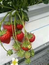 成都欣悦常年培育草莓苗批发,放心购买,优质好苗