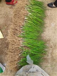 安徽知母种苗价格  知母种子一亩地种植几公斤