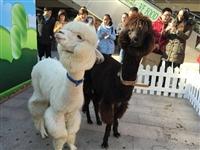 2016羊驼多少钱一只公司