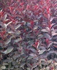 紫叶矮樱价格紫叶矮樱苗木陕西紫叶矮樱大量销售 成活率高
