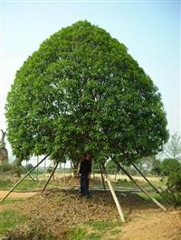 桂花树价格  桂花树形态特征