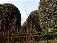18公分桂花树价格,大规格精品桂花价格,行道树桂花树
