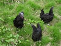 高產綠殼蛋土雞苗 綠殼蛋烏雞苗批發供應 黑羽高產綠殼蛋雞苗價格