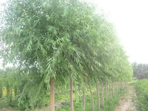 出售旱柳苗木厂家 旱柳多规格供应品种齐全