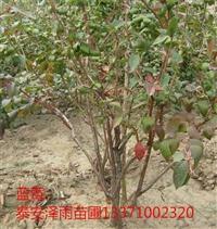 北京北高丛蓝莓苗基地哪里便宜
