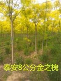 山东泰安樱花树当时价格