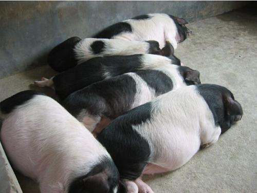 宁乡土花猪成年母猪