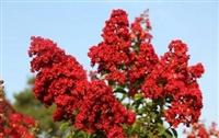江西红火球紫薇价格 红火球紫薇报价 美国三红紫薇苗