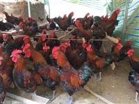 四川雞苗供應商 成都雞苗廠家 黑羽烏骨雞苗 批發雞苗 雞苗供應商
