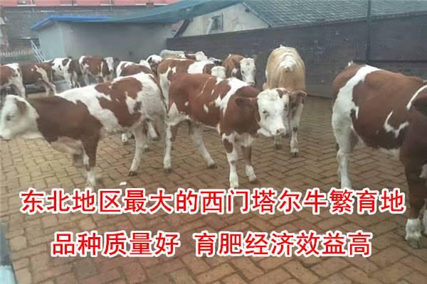 有口碑的西门塔尔牛