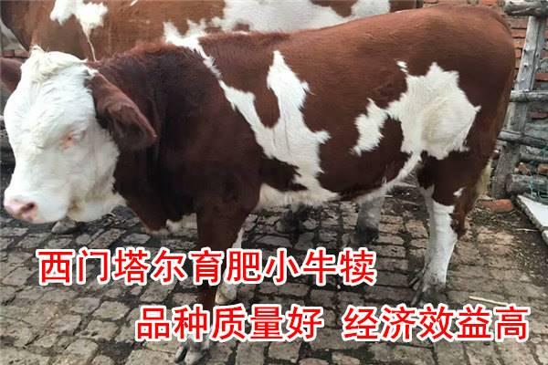高性价牛犊现在的价格