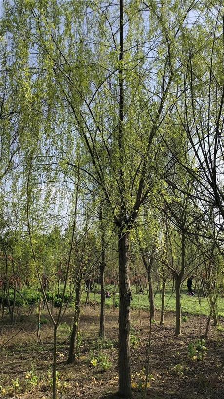 四川柳树,成都柳树价格