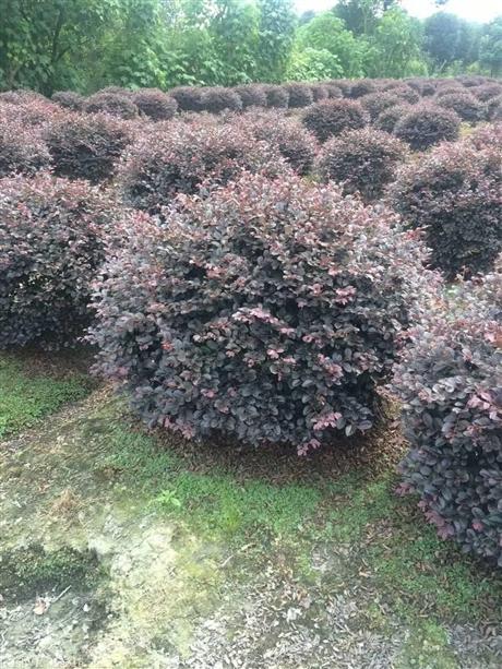四川红花继木,成都红花继木价格