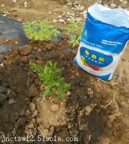 葡萄采摘后管理葡萄月子肥