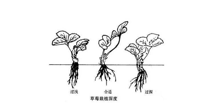 草莓苗泰安草莓苗批发价格草莓苗