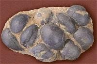 八连体恐龙蛋化石鉴定上门收购交易在哪里好