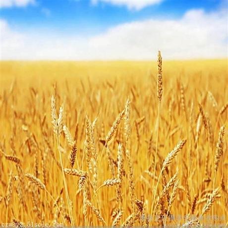 收购高粱  四川卫世长期求购玉米碎米高粱小麦