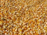 哪里大量 求购玉米 常年收购玉米