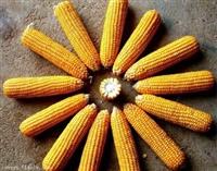 求购玉米厂家 玉米收购批发市场
