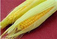 哪里大量收购玉米 吉林求购玉米